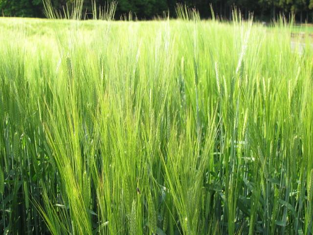まぶしいほどの麦の穂